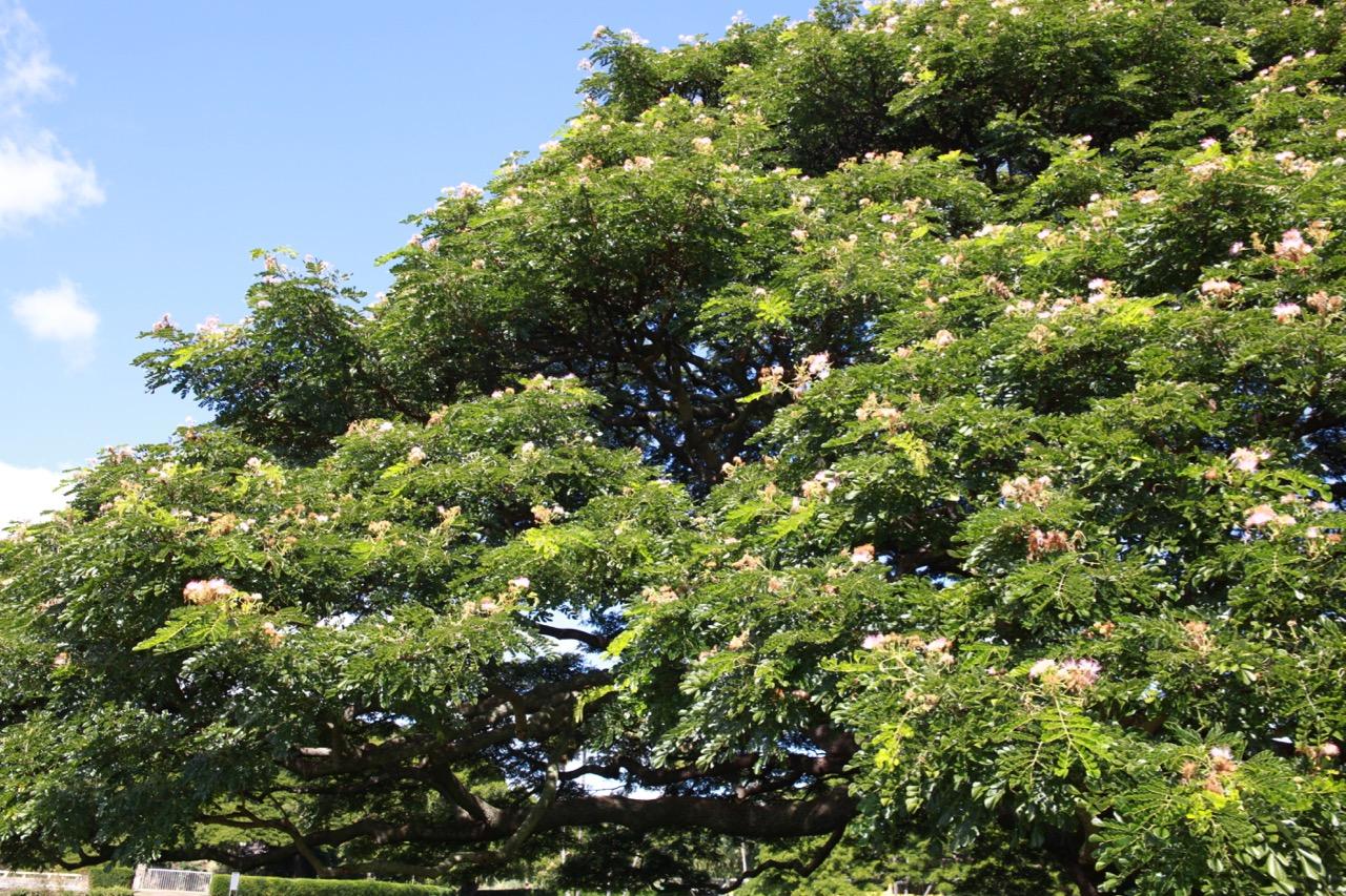 日立の木の葉
