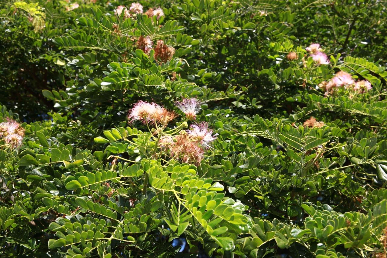 日立の木の花